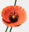 Orange sunset poppy