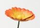 Varigated sunset poppy