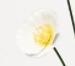 White sunset poppy