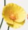 Yellow sunset poppy